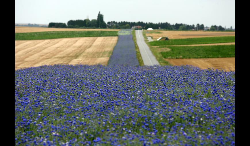 Bande de bleuets au bord de la route du Chemin des Dames (Aisne)